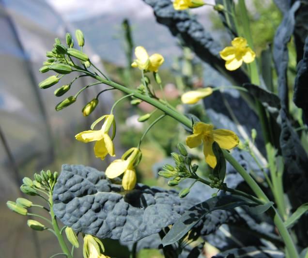 Cavolo nero in fiore