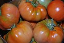 Pomodori appena raccolti