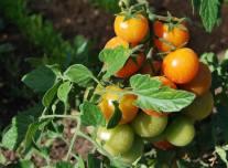 Frutti in maturazione